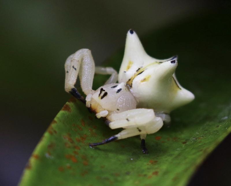 Crab spider_Thomisidae_Ascanio_Costa Rica_199A9530