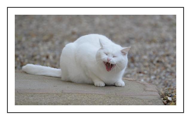 le baillement du chat