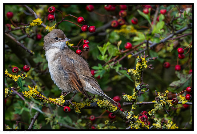 Windswept Whitethroat