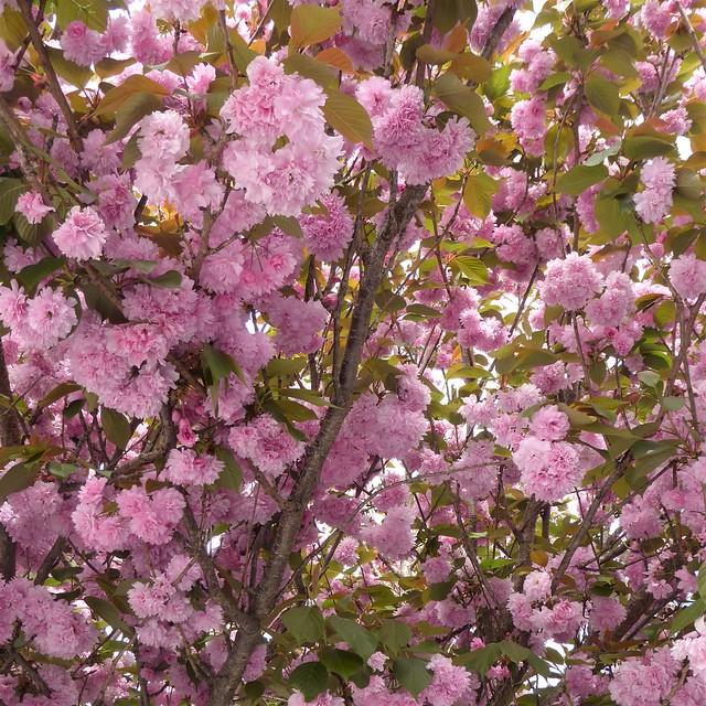 San Francisco, CA, Noe Valley, Pink Cherry Tree Flowers