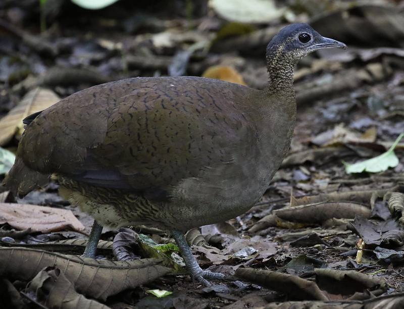 Great Tinamou_Tinamus major_Ascanio_Costa Rica_199A9930