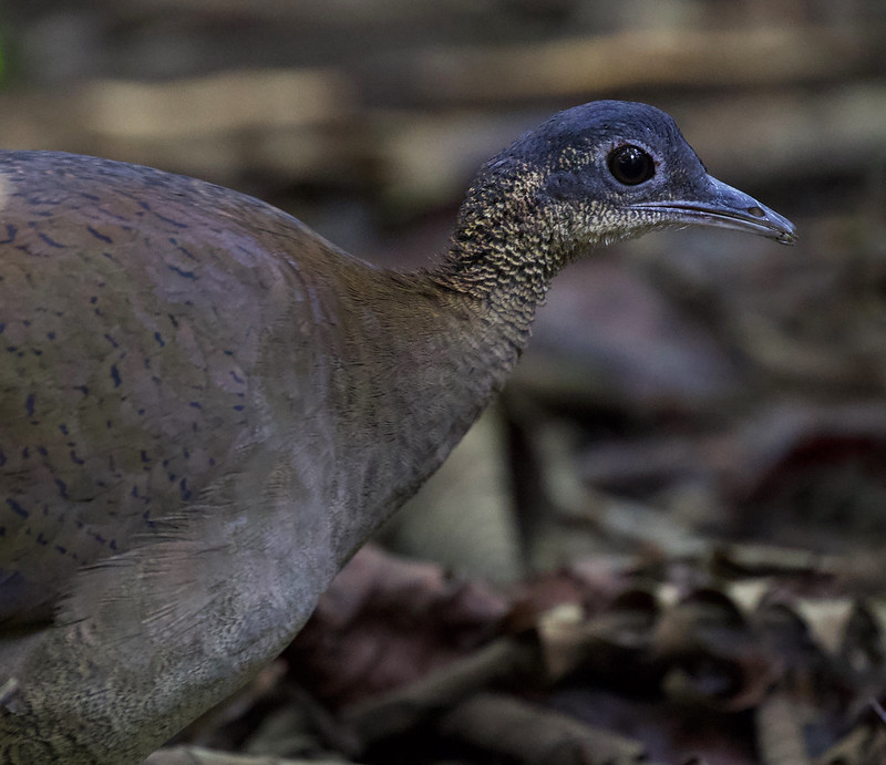 Great Tinamou_Tinamus major_Ascanio_Costa Rica_199A9957