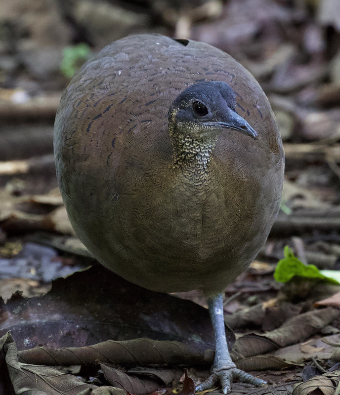 Great Tinamou_Tinamus major_Ascanio_Costa Rica_199A9948