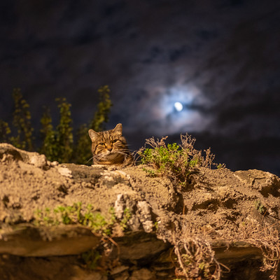 Photo of a cat, on top of a wall, at night, with the moon in the background
