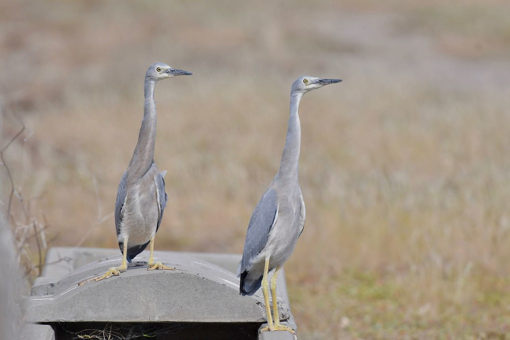 Juv. White - faced Herons ( Its windy and waiting on Mum )