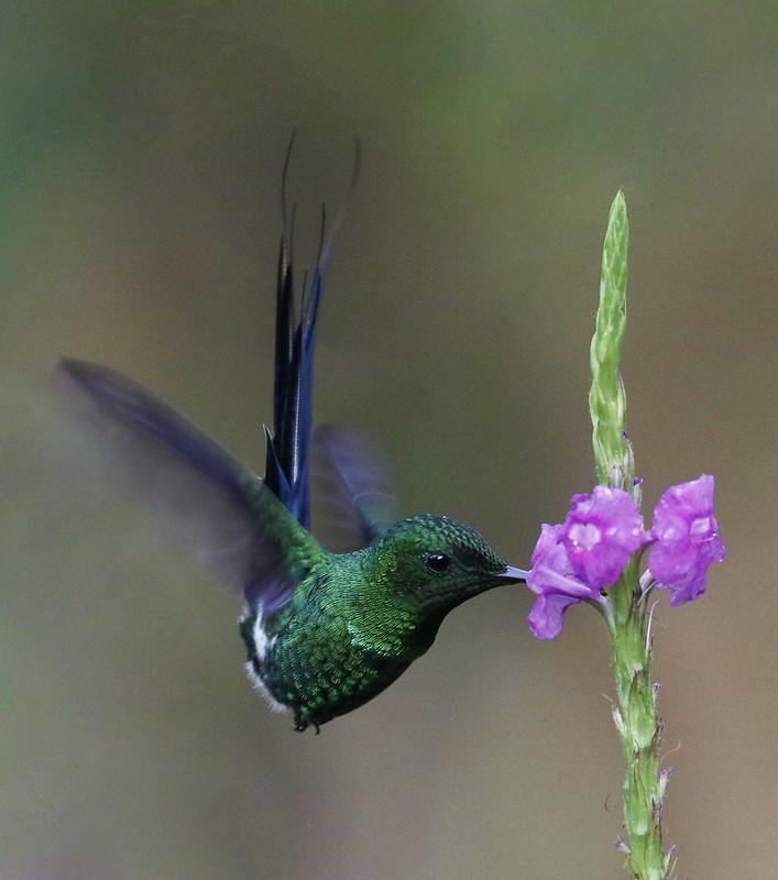 Green Thorntail_Discosura conversii_Costa Rica_Ascanio_199A9320