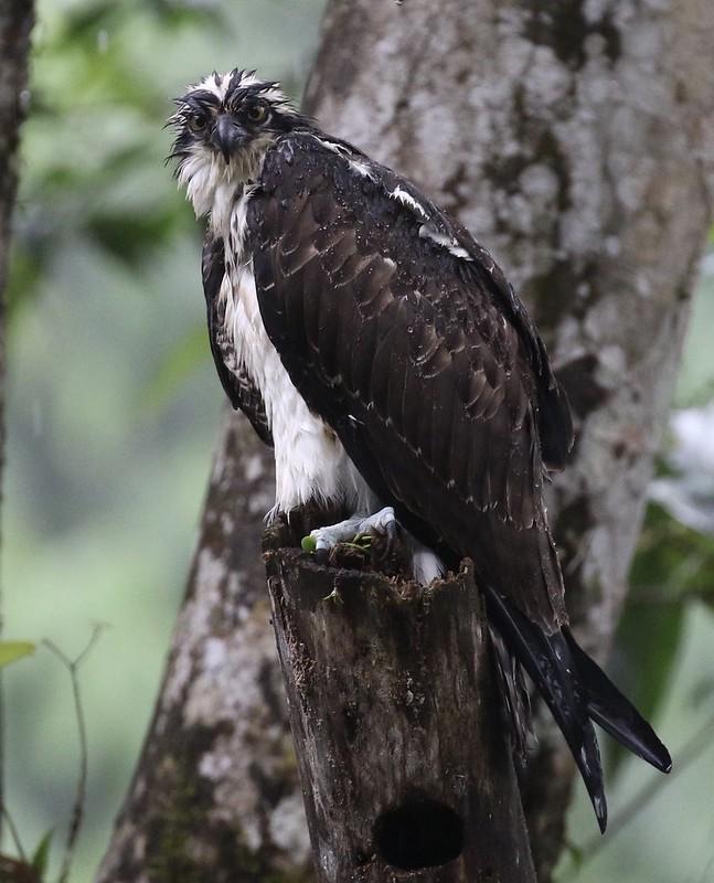 Osprey_Pandion haliaetus_Costa Rica_Ascanio_199A0524
