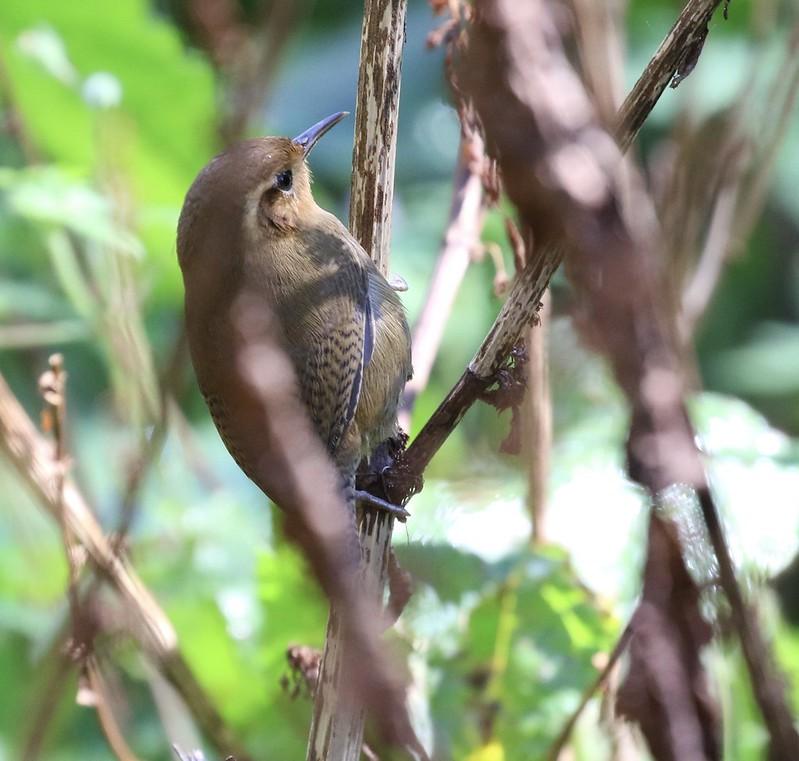 Ochraceous Wren_Troglodytes ochraceus_Costa Rica_Ascanio_199A8754