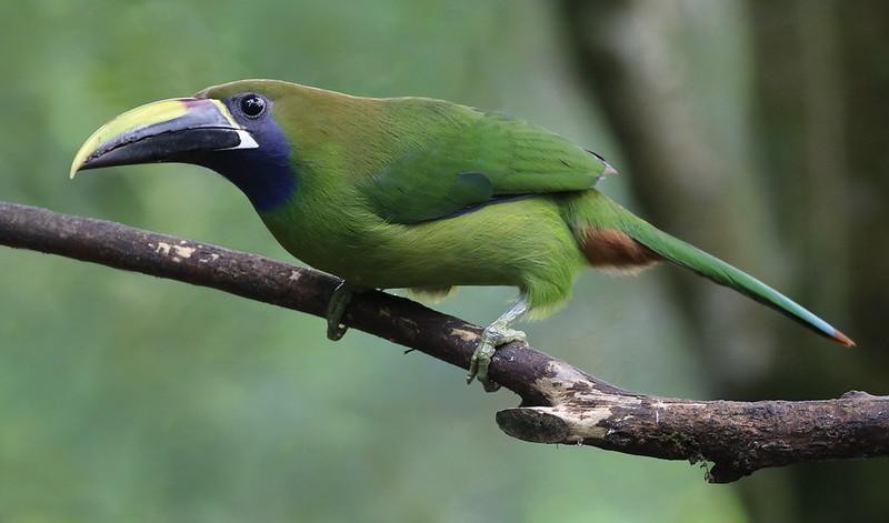 Northern Emerald-Toucanet_Aulacorhynchus prasinus_Ascanio_Costa Rica_199A1702