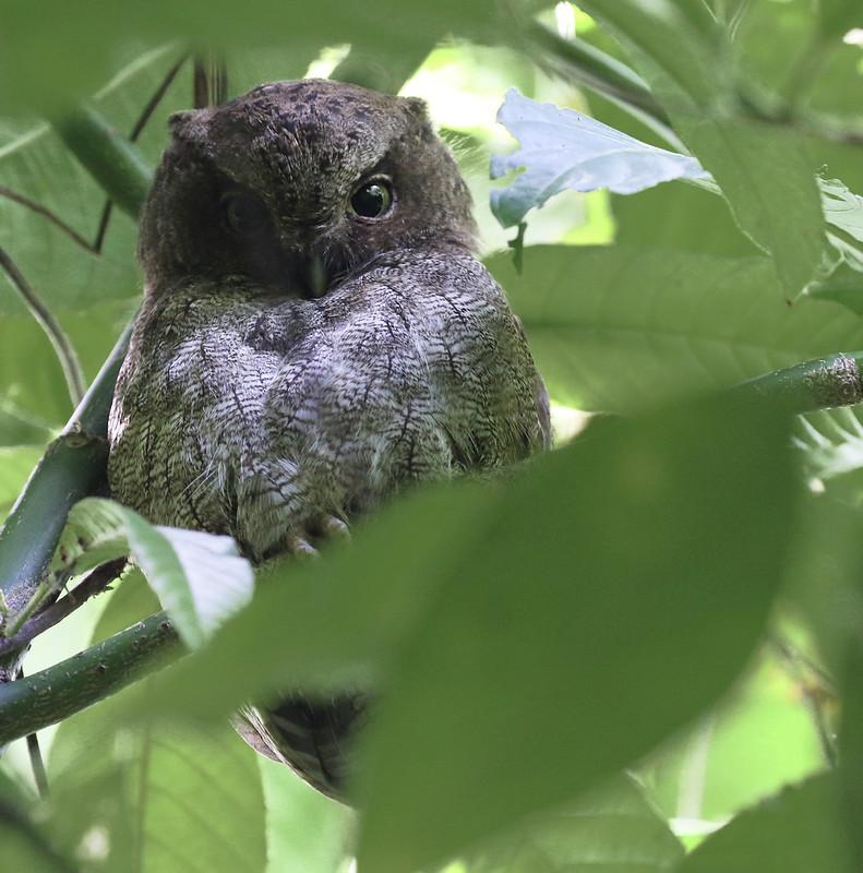 Middle American Screech-Owl_Megascops guatemalae_Costa Rica_Ascanio_199A9773