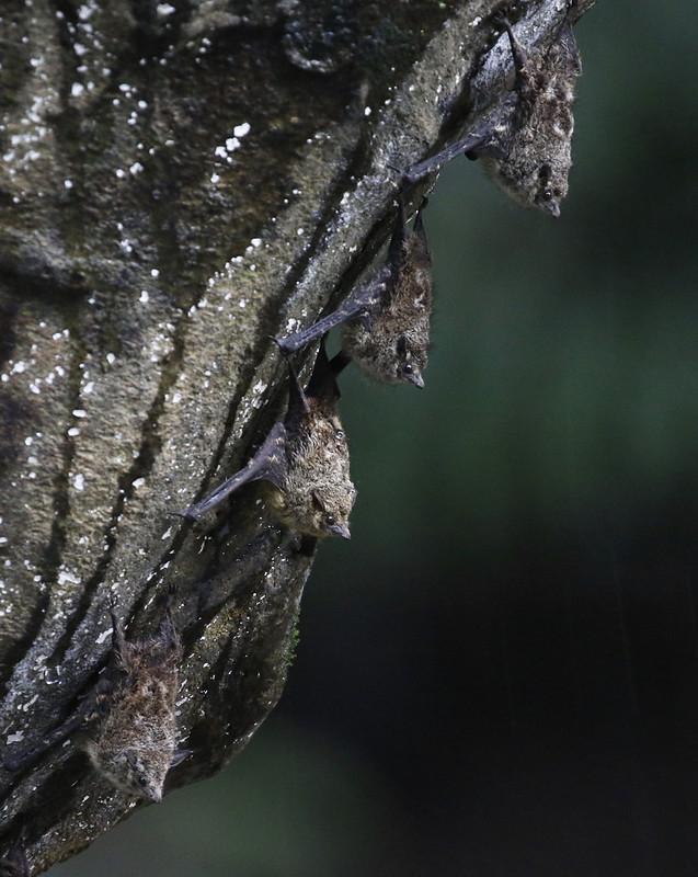 Proboscis Bat_Rhynchonycteris naso_Costa Rica_Ascanio_199A0488