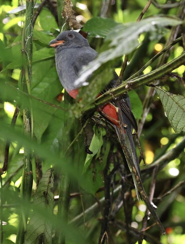 Slaty-tailed Trogon_Trogon massena_Ascanio_Costa Rica_199A9723