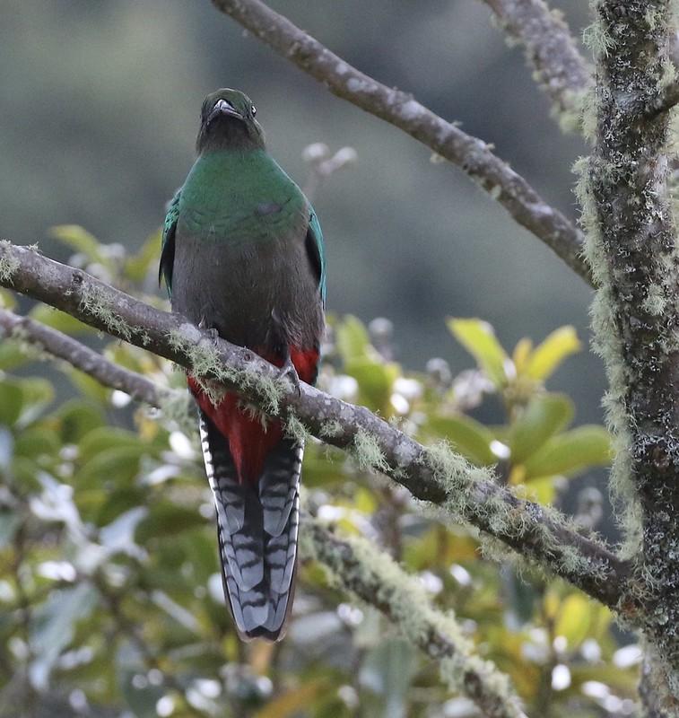Resplendent Quetzal_Pharomachrus mocinno_female_Ascanio_Costa Rica_199A8700