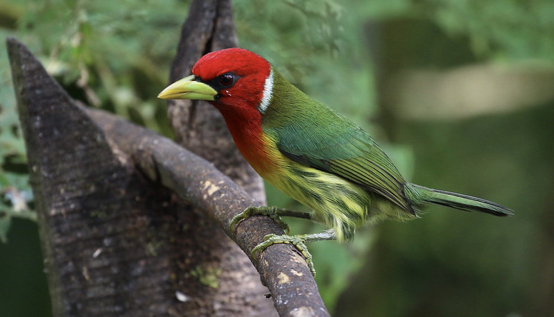 Red-headed Barbet_Eubucco bourcierii_Ascanio_Costa Rica_199A1620