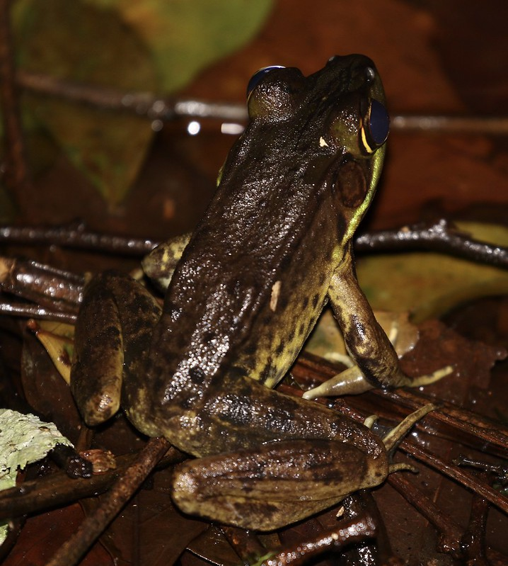 Unknown frog_Ascanio_Costa Rica_199A0057