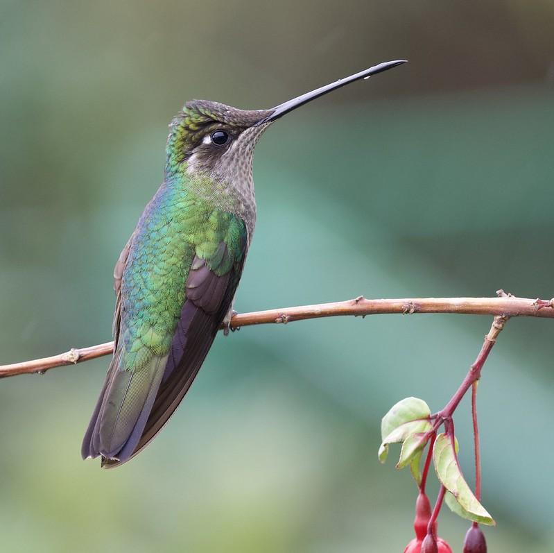 Talamanca Hummingbird_Eugenes spectabilis_female_Ascanio_Costa Rica_199A8569