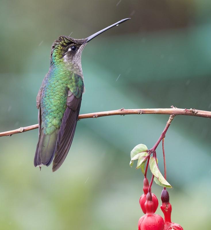 Talamanca Hummingbird_Eugenes spectabilis_female_Ascanio_Costa Rica_199A8560