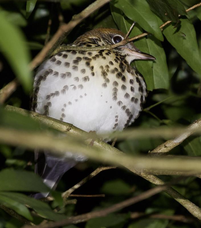 Swainson's Thrush_Catharus ustulatus_Ascanio_Costa Rica_199A0059