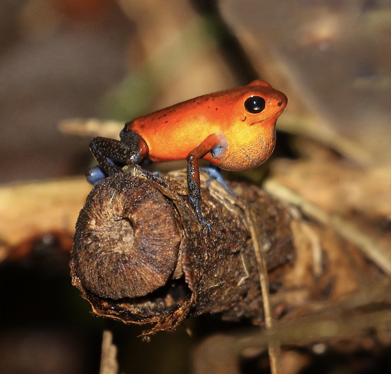 Strawberry Poison Dart Frog_Oophaga pumilio_Ascanio_Costa Rica_199A9698