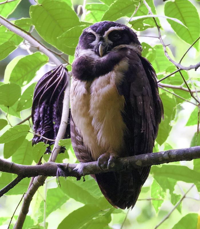 Spectacled Owl_Pulsatrix perspicillata_Ascanio_Costa Rica_199A0970
