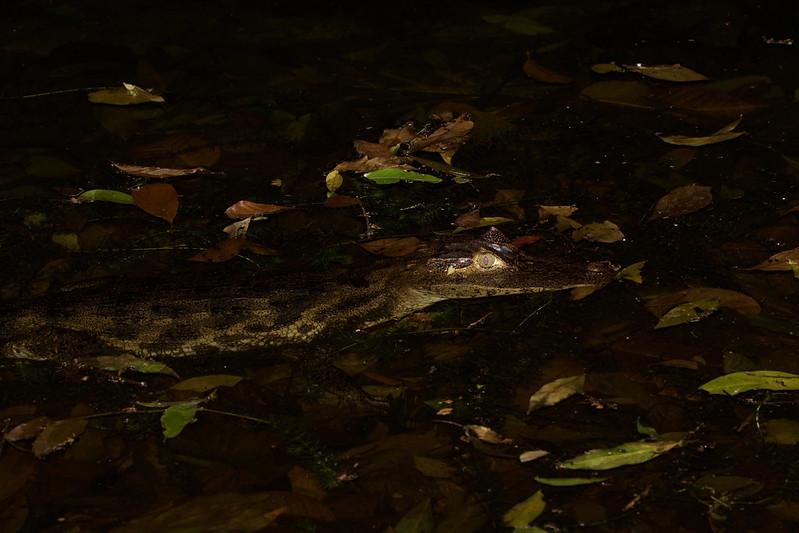 Spectacled Caiman_Caiman crocodilus_Ascanio_Costa Rica_199A9480