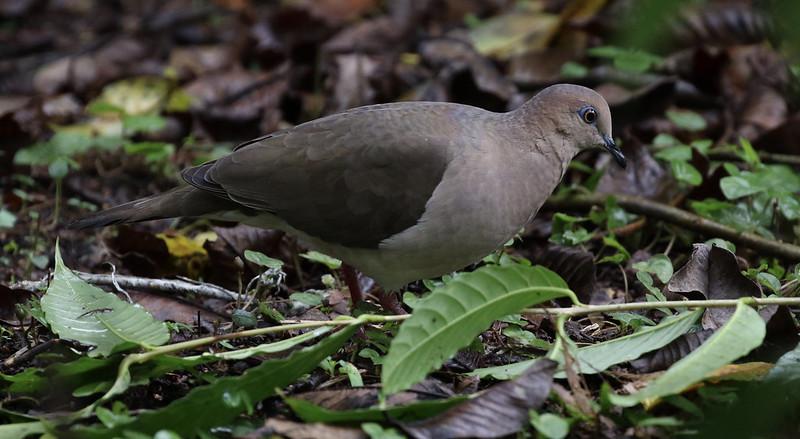 White-tipped Dove_Leptotila verreauxi_Ascanio_Costa Rica_199A0852