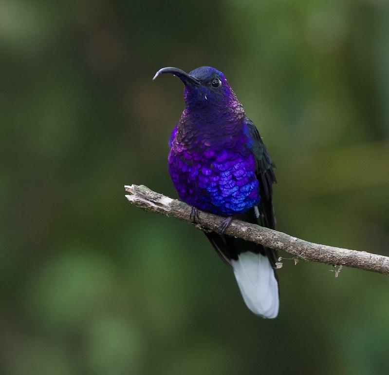 Violet Sabrewing_Campylopterus hemileucurus_Ascanio_Costa Rica_ 199A1512