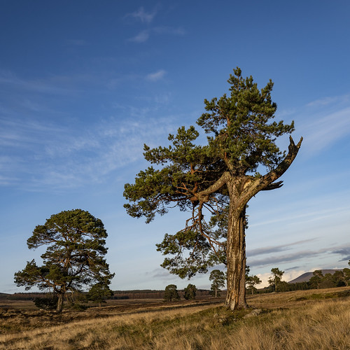 pine scots caledonian wood woodland forest pinewood lost fragment relic tree trees nature natural native sky sun clouds sunset sundown light colour colours rosshire highlands scotland conservation rewilding landscape gesture vees flicking