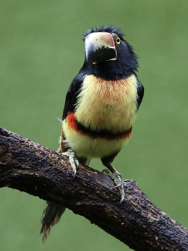 Collared Aracari_Pteroglossus torquatus_Ascanio_Costa Rica_199A9655