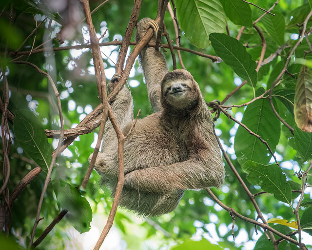 Brown-throated (Three-toed) Sloth