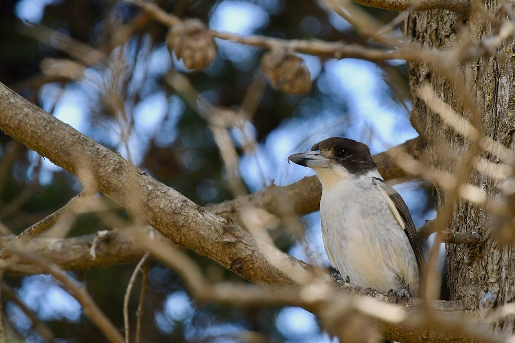 Grey Butchbird