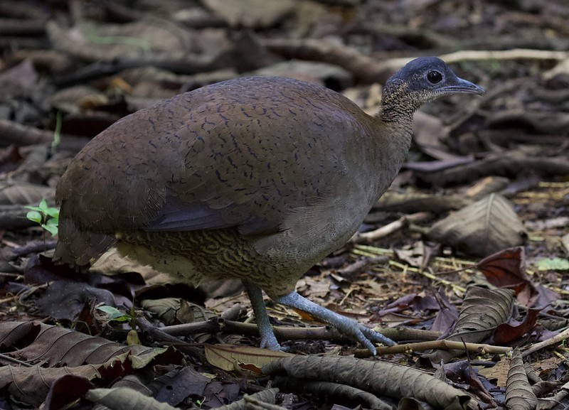Great Tinamou_Tinamus major_Ascanio_Costa Rica_199A9980