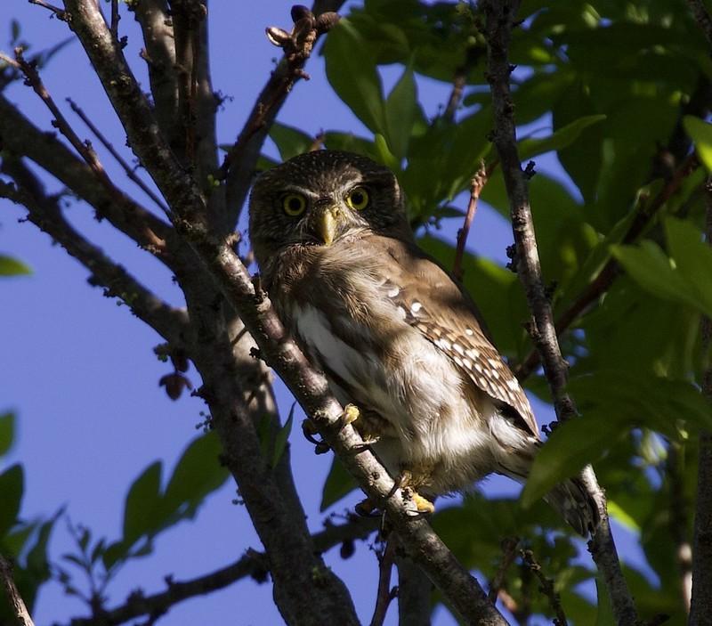 Ferruginous Pygmy-Owl_Glaucidium brasilianum_Costa Rica_Ascanio_199A8365