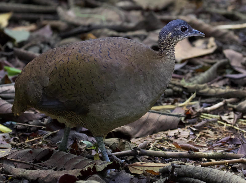 Great Tinamou_Tinamus major_Ascanio_Costa Rica_199A9975
