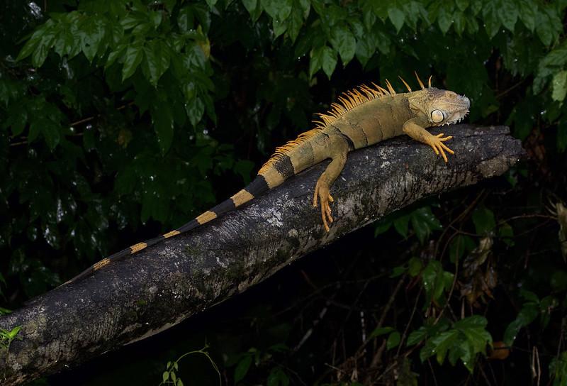 Green Iguana_Iguana iguana_Costa Rica_Venezuela_199A0617