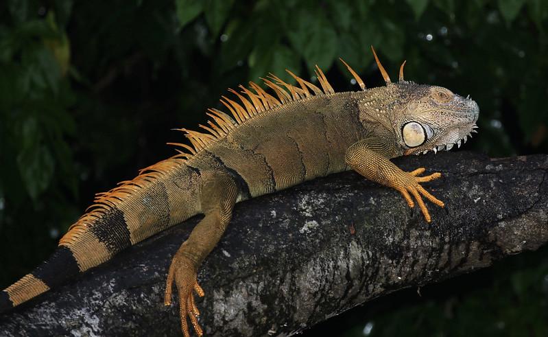 Green Iguana_Iguana iguana_Costa Rica_Venezuela_199A0614