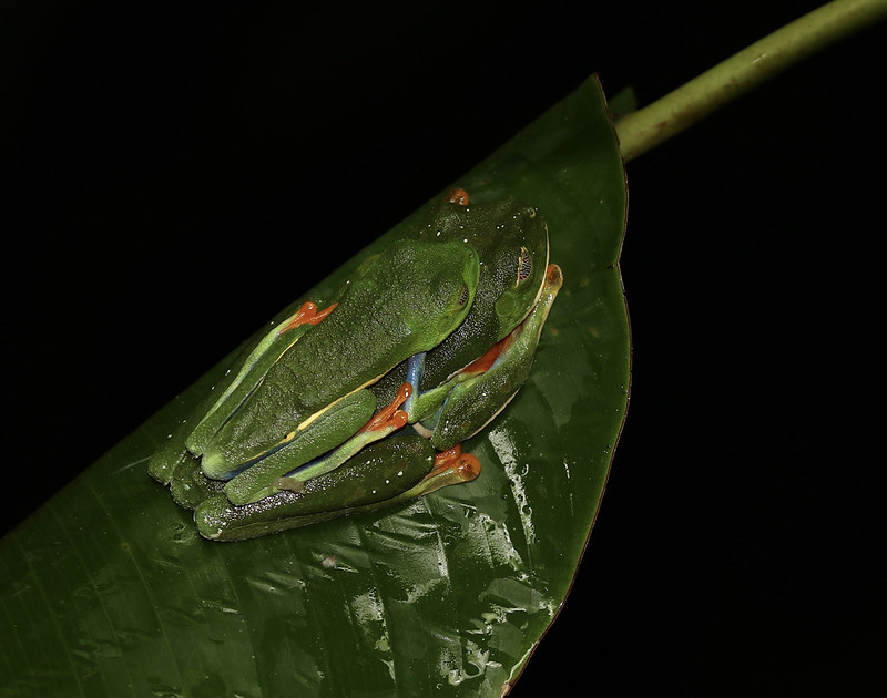 Red-eyed Tree-Frog_Ascanio_Costa Rica_199A9597