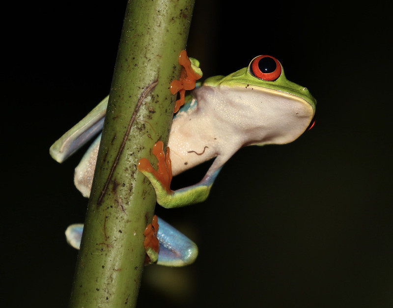 Red-eyed Tree-Frog_Ascanio_Costa Rica_ 199A9450