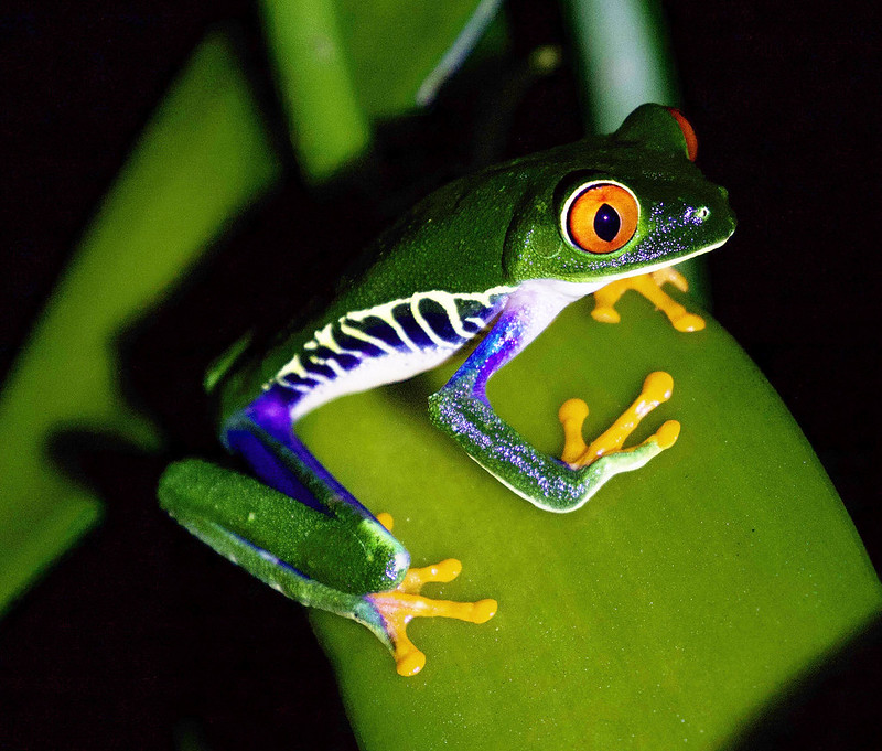 Red-eyed Tree-Frog_Ascanio_Costa Rica_ 199A0126