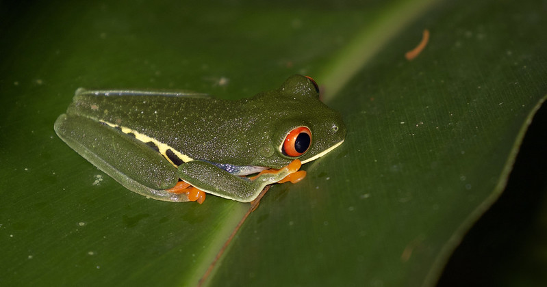 Red-eyed Tree-Frog_Ascanio_Costa Rica_199A0049