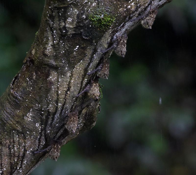 Proboscis Bat_Rhynchonycteris naso_Costa Rica_Ascanio_ 199A0498