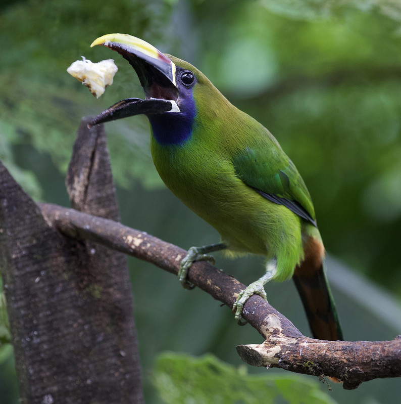 Northern Emerald-Toucanet_Aulacorhynchus prasinus_Ascanio_Costa Rica_199A1761