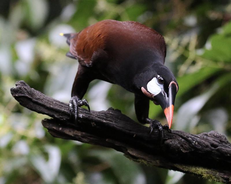 Montezuma oropendola_Psarocolius montezuma_Ascanio_Costa Rica_ 199A1126