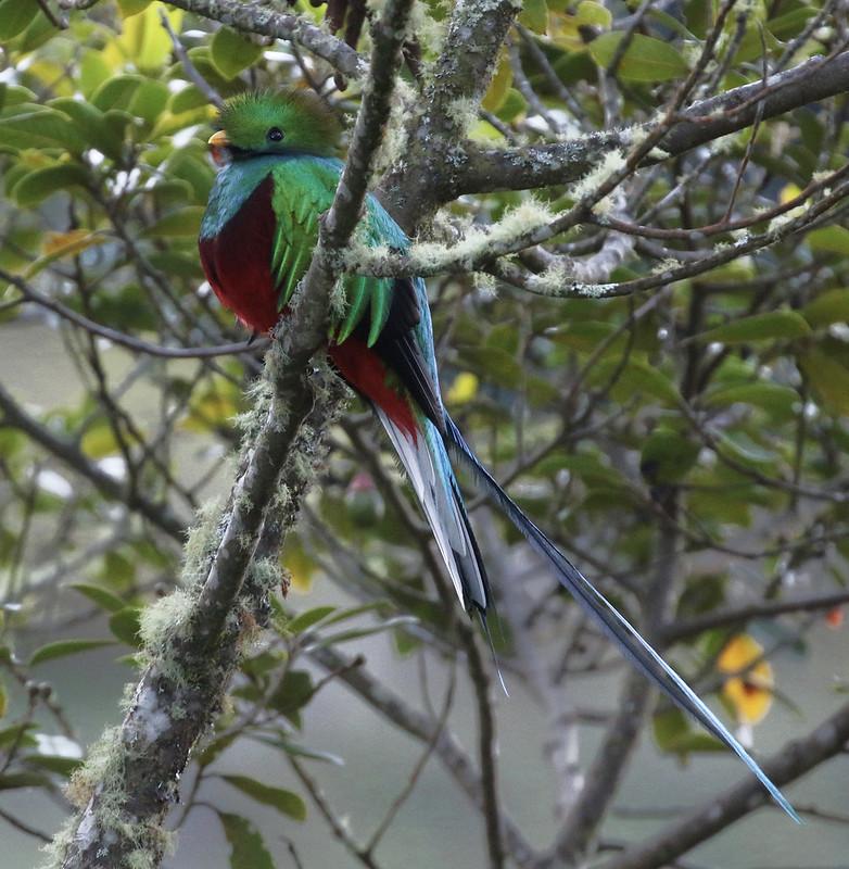 Resplendent Quetzal_Pharomachrus mocinno_Costa Rica_Ascanio_199A8672