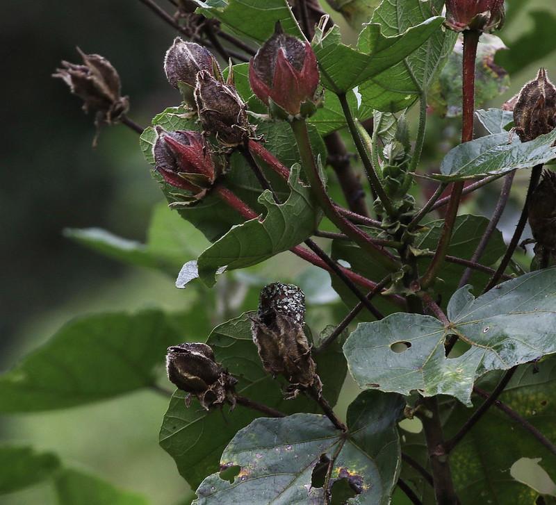 Scintillant Hummingbird nest_Selasphorus scintilla_Ascanio_Costa Rica_199A8972