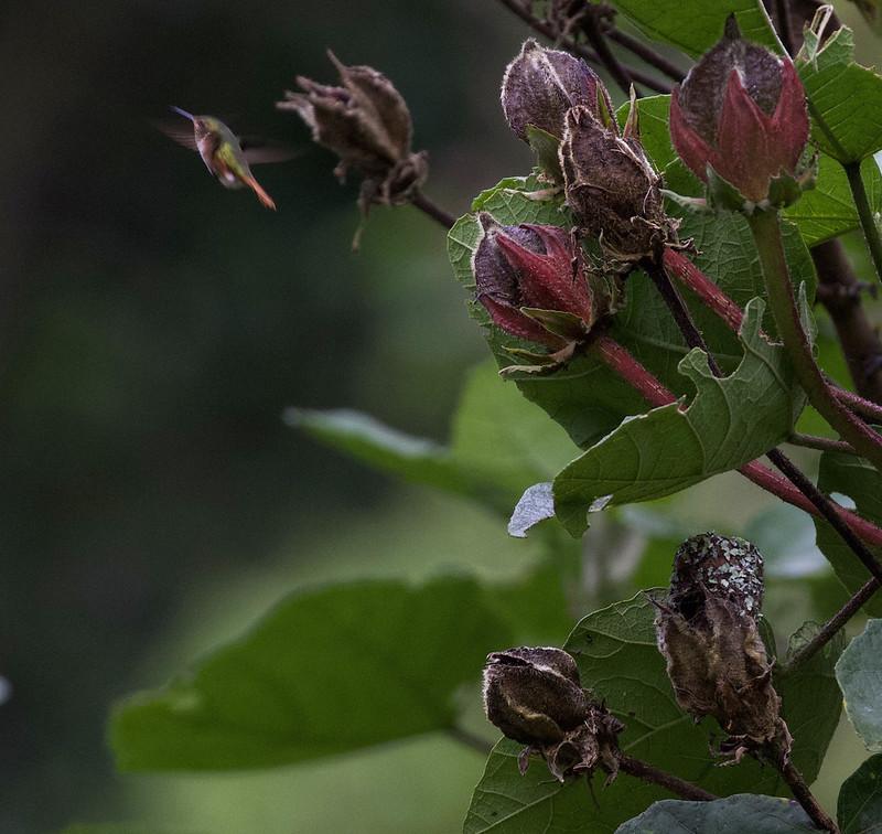 Scintillant Hummingbird nest_Selasphorus scintilla_Ascanio_Costa Rica_199A8968