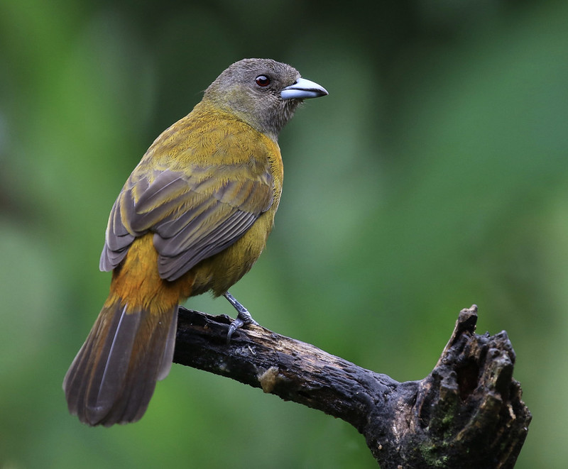 Scarlet-rumped Tanager_Ramphocelus passerinii_Ascanio_Costa Rica_ 199A0737
