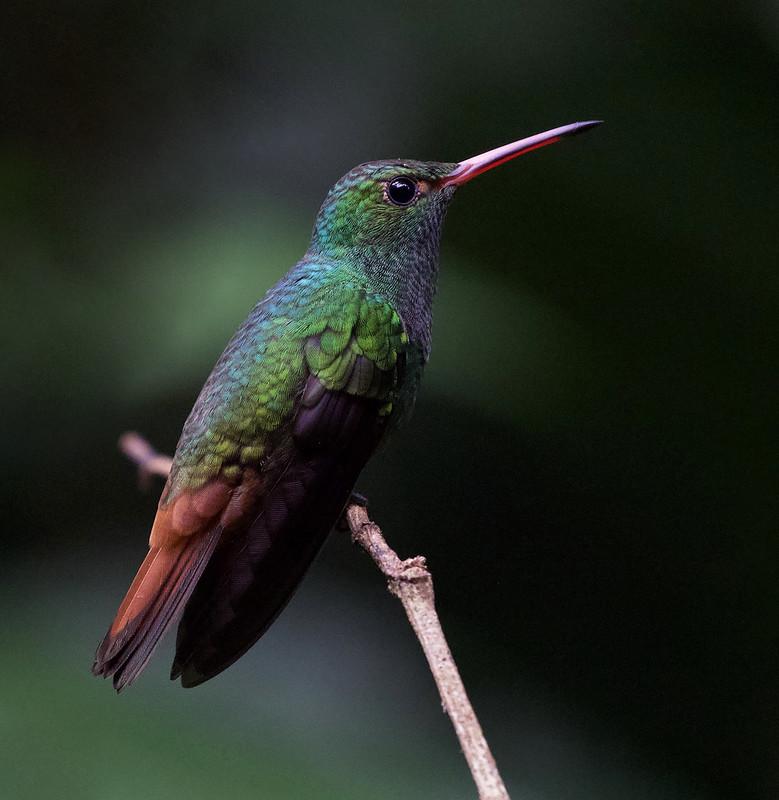 Rufous-tailed Hummingbird_Amazilia tzacatl_Ascanio_Costa Rica_199A1046