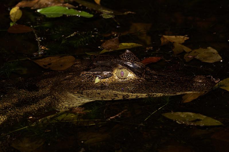 Spectacled Caiman_Caiman crocodilus_Ascanio_Costa Rica_ 199A9476
