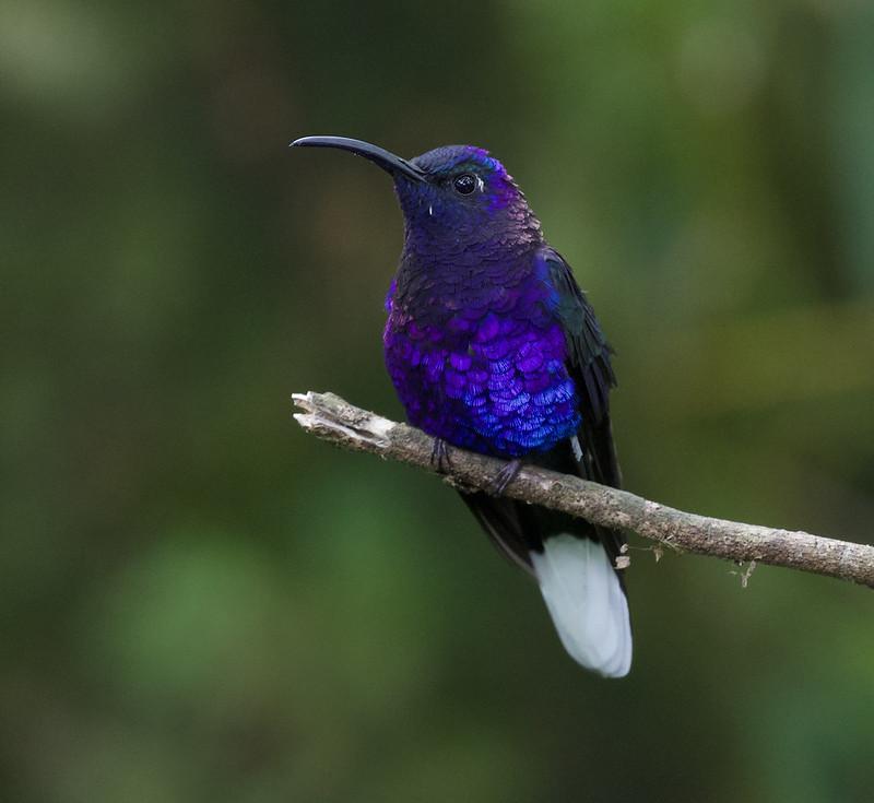 Violet Sabrewing_Campylopterus hemileucurus_Ascanio_Costa Rica_199A1515